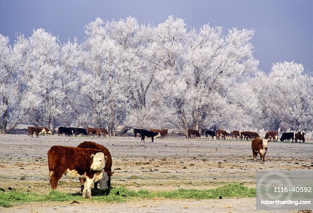 Cattle, Lagrande, Oregon, Usa