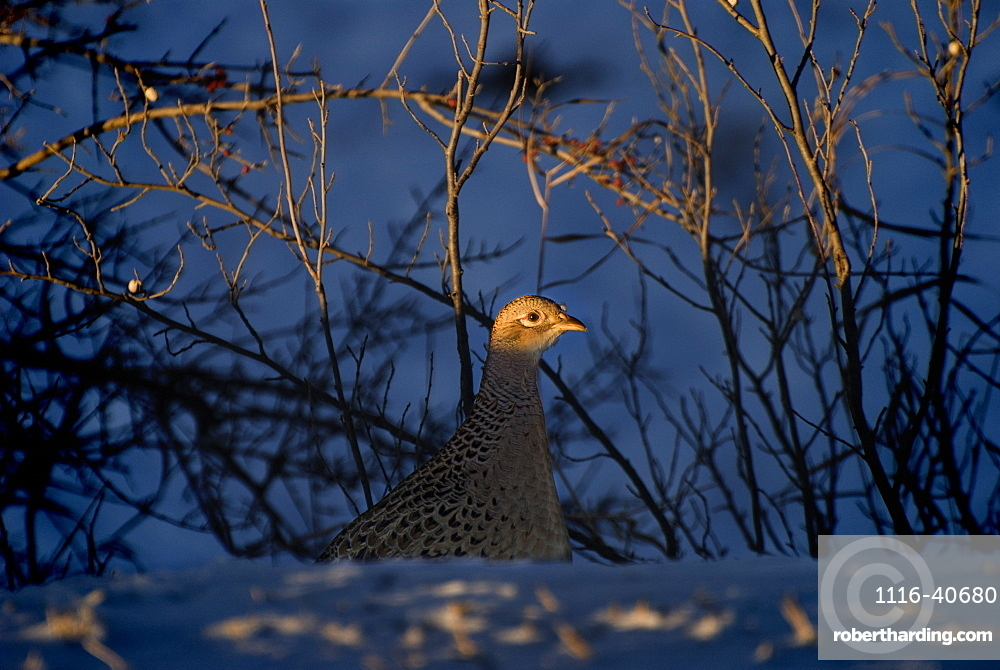 Alberta, Canada, Female Ring-Necked Pheasant
