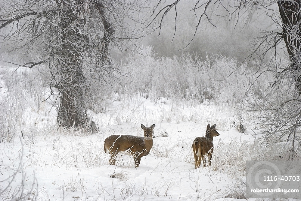 White-Tailed Deer (Odocoileus Virginianus) In The Snow