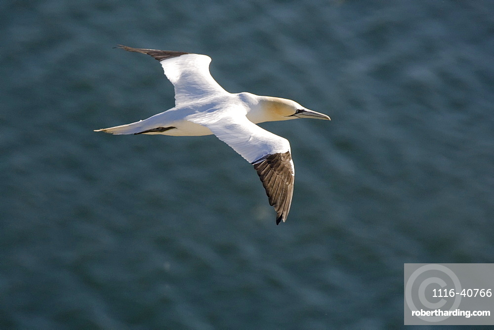 Gannet (Sulidae) In Flight