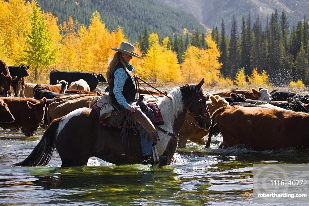 Cowgirl Herding Cattle Across River