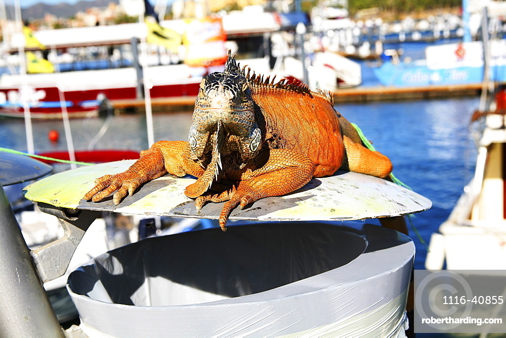 Big Igauna Sitting On Trash, Cabo San Lucas, Mexico