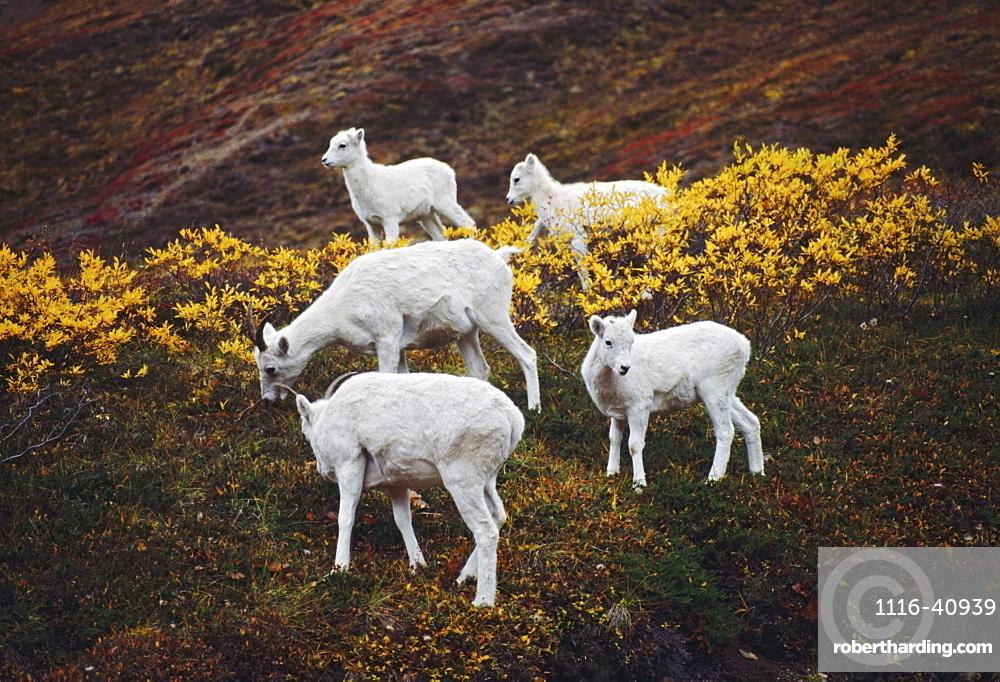 Dall Sheep (Orvis Dalli), Ewes With Lambs On Autumn Tundra, Denali National Park And Preserve, Alaska, Usa