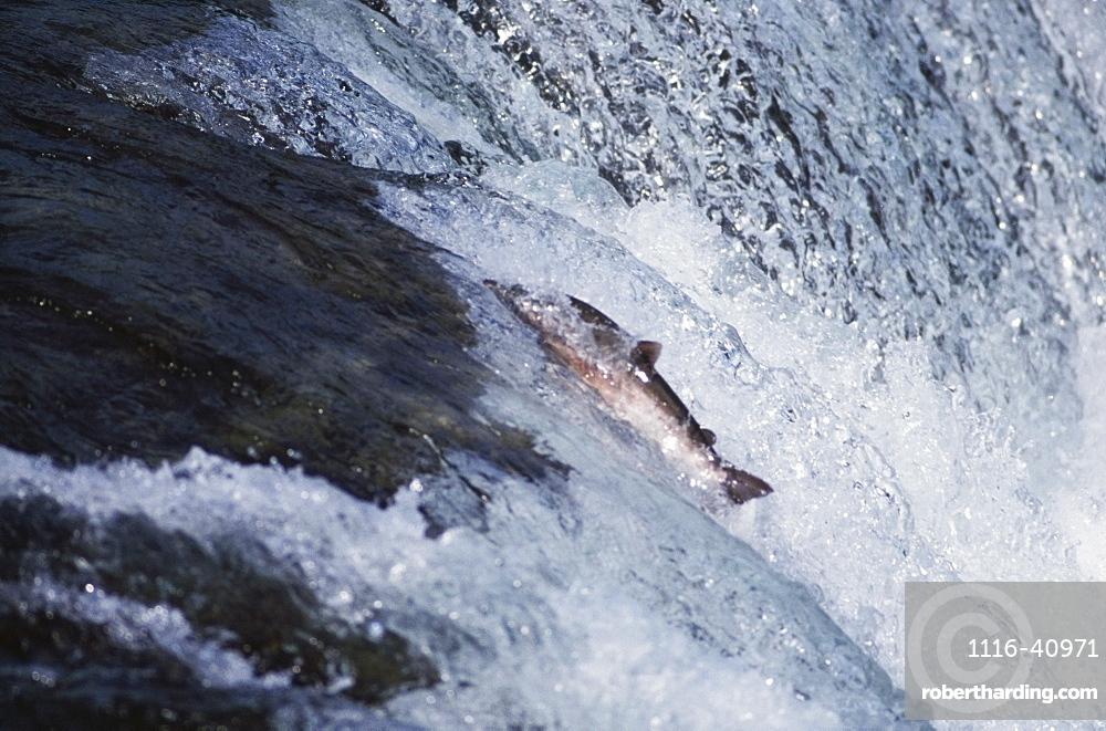 Salmon Ascending Waterfall, Katami National Park, Alaska