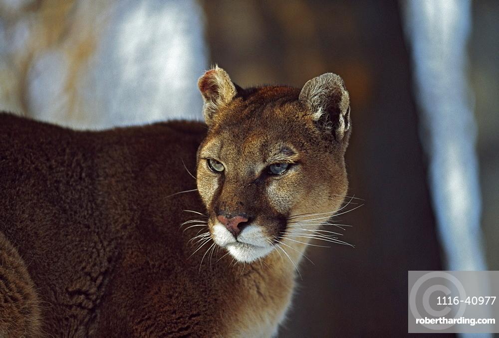 Mountain Lion (Felis Concolor), Montana, Usa