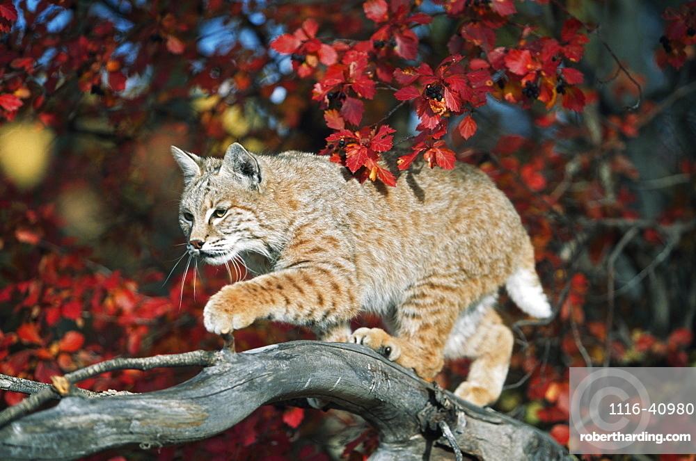 Bobcat Walks On Branch Through Hawthorn In Autumn, Idaho, Usa