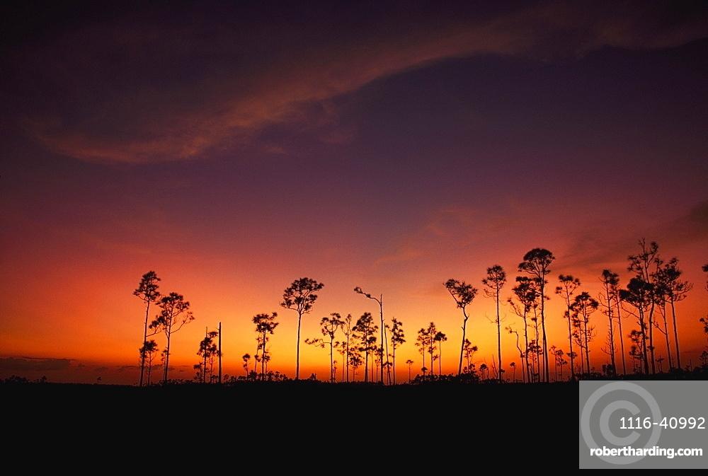 Slash Pine (Pinus Elliottii), Everglades National Park, Florida, Usa