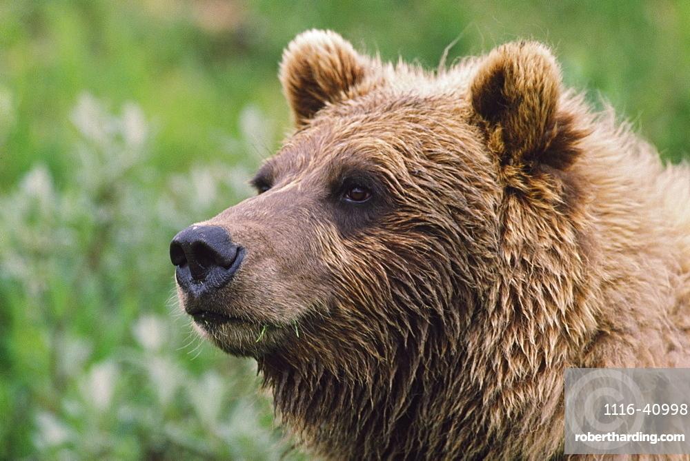 Grizzly Bear Portrait, Denali National Park And Preserve, Alaska, Usa
