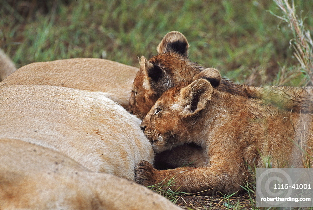 Lion Cubs Nursing, Africa