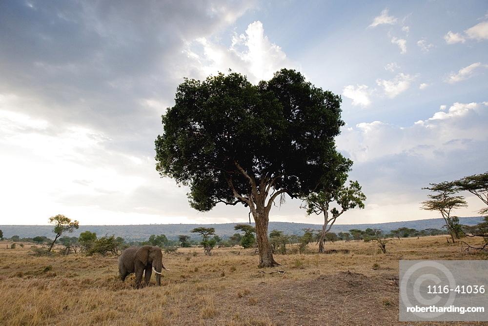 Elephant On An African Landscape