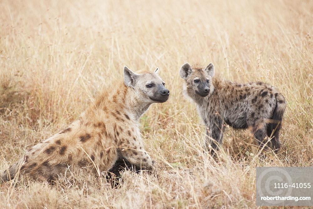 Spotted Hyaenas, Kenya, Africa