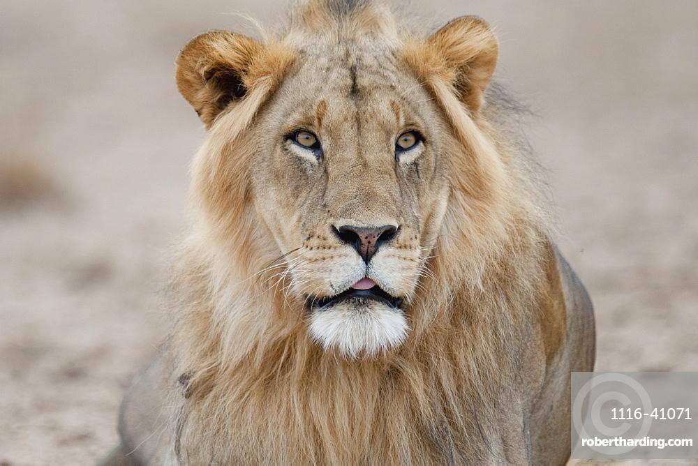 Lion, Kenya, Africa
