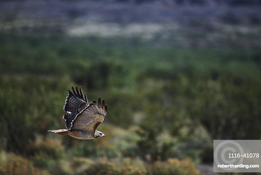 Red-Tailed Hawk (Buteo Jamaicensis) Flies Over High Desert