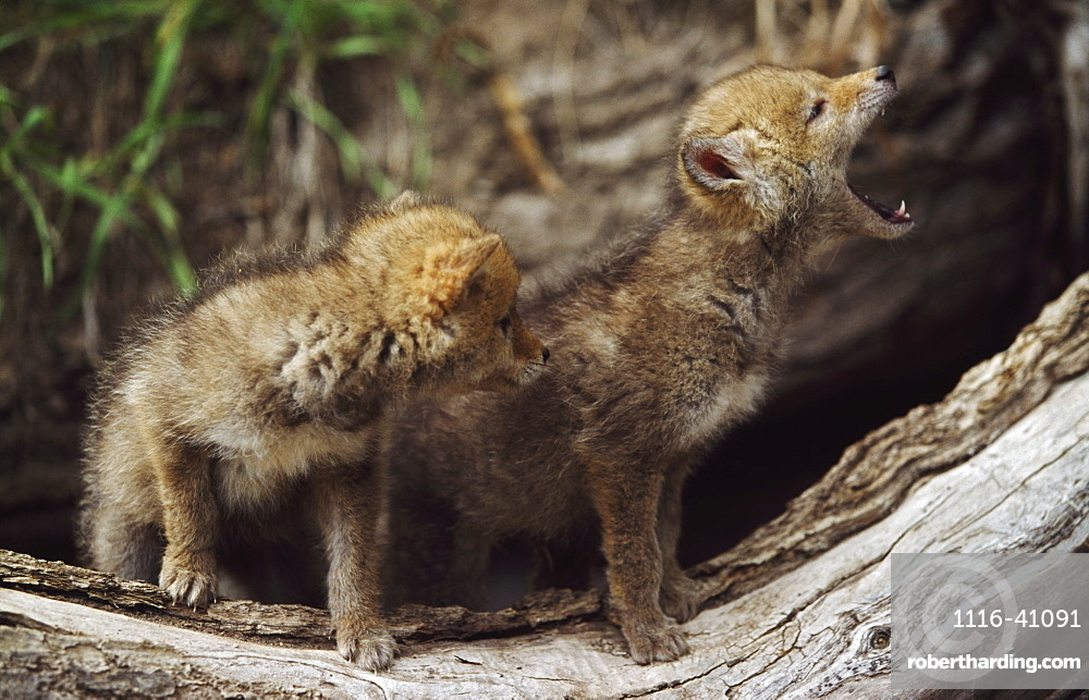 Pair Of Young Coyote Pups Howling, Montana, Usa