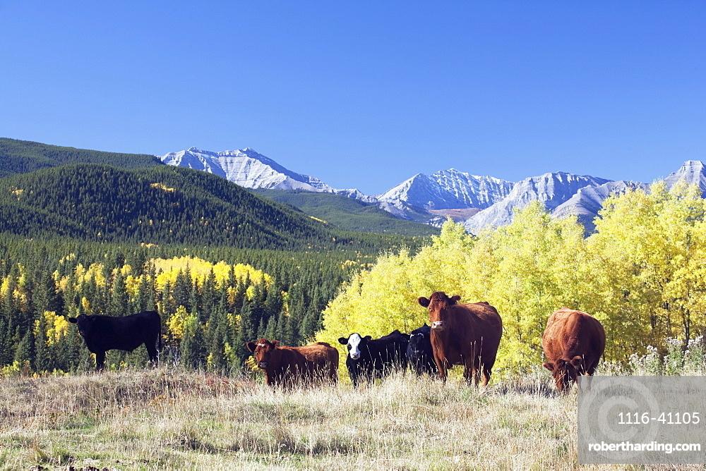 Cattle Grazing In Foothills, Turner Valley, Alberta, Canada