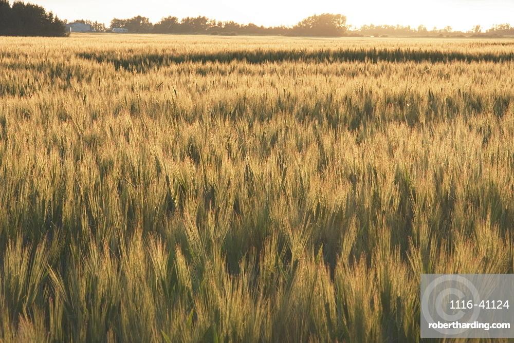 Alberta, Canada, Wheat Field At Sunset