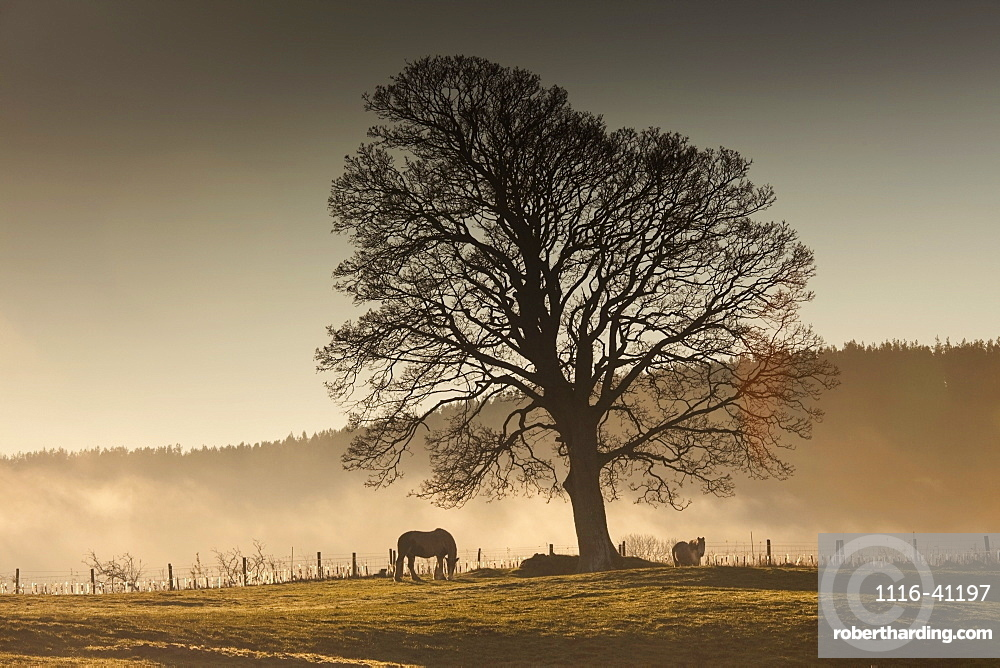 Northumberland, England, Horses Grazing In A Field Covered With Fog