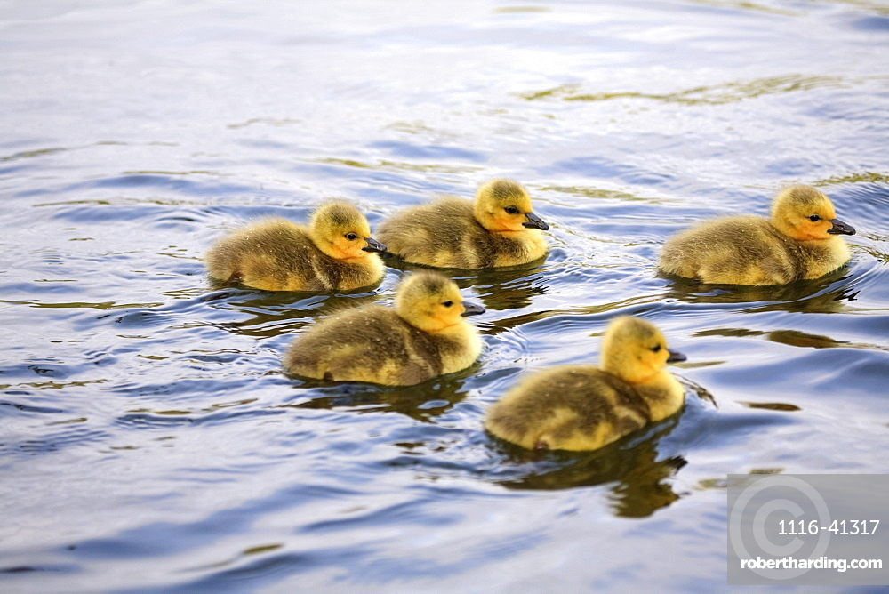 Five Goslings In The Water