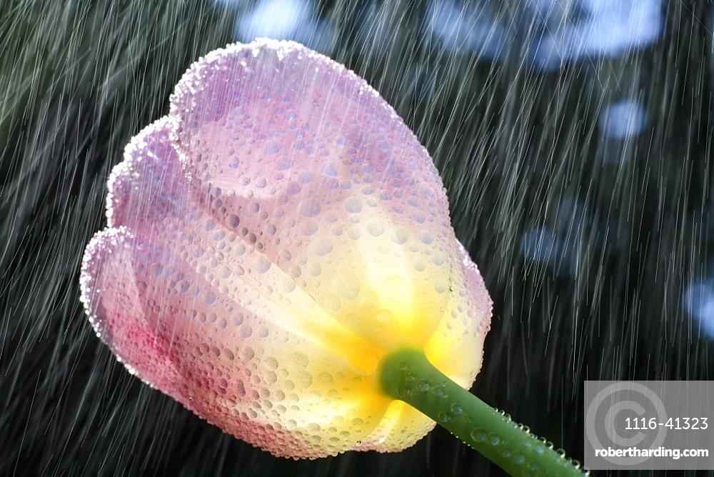 Rain Falling On A Tulip