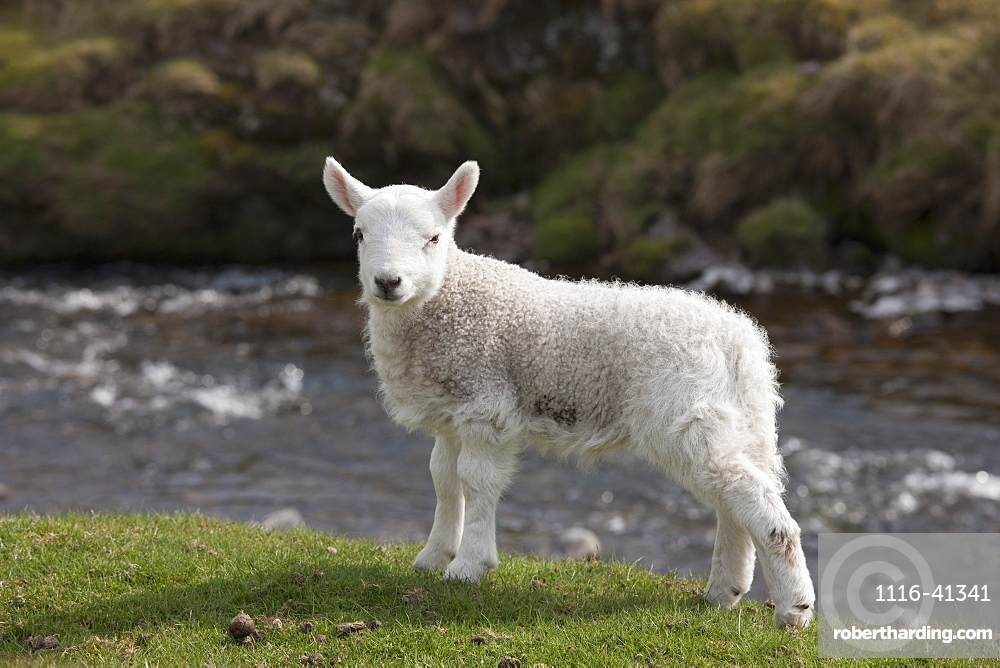 Northumberland, England, A Sheep Standing On The Shore Of A River