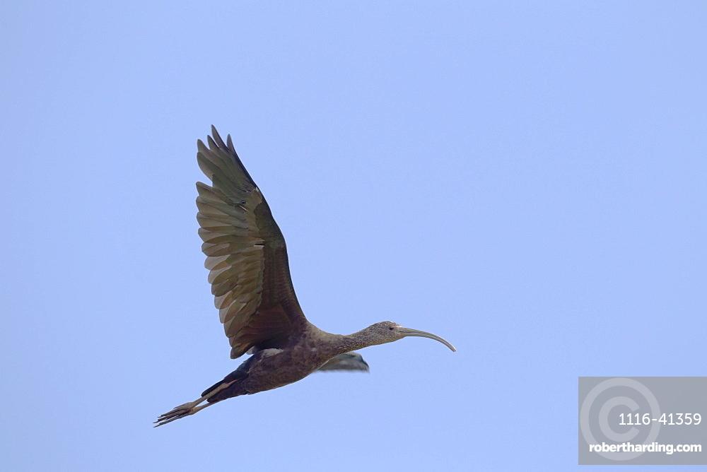 Hawaii, United States Of America, White-Faced Ibis (Plegadis Chihi) In Flight