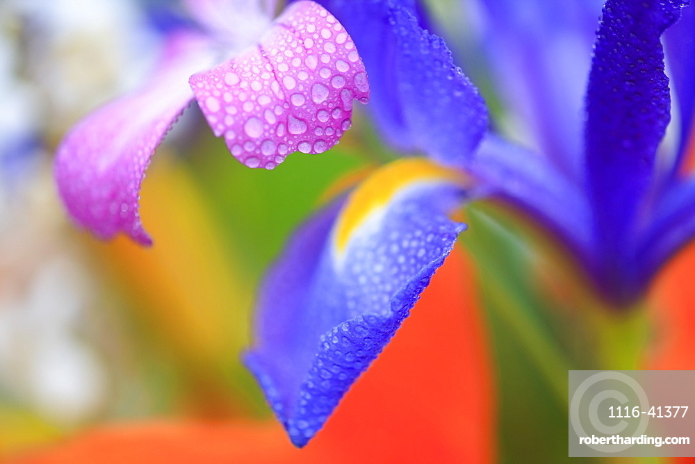 Portland, Oregon, United States Of America, Dew On Flower Petals At Crystal Springs Rhododendron Garden