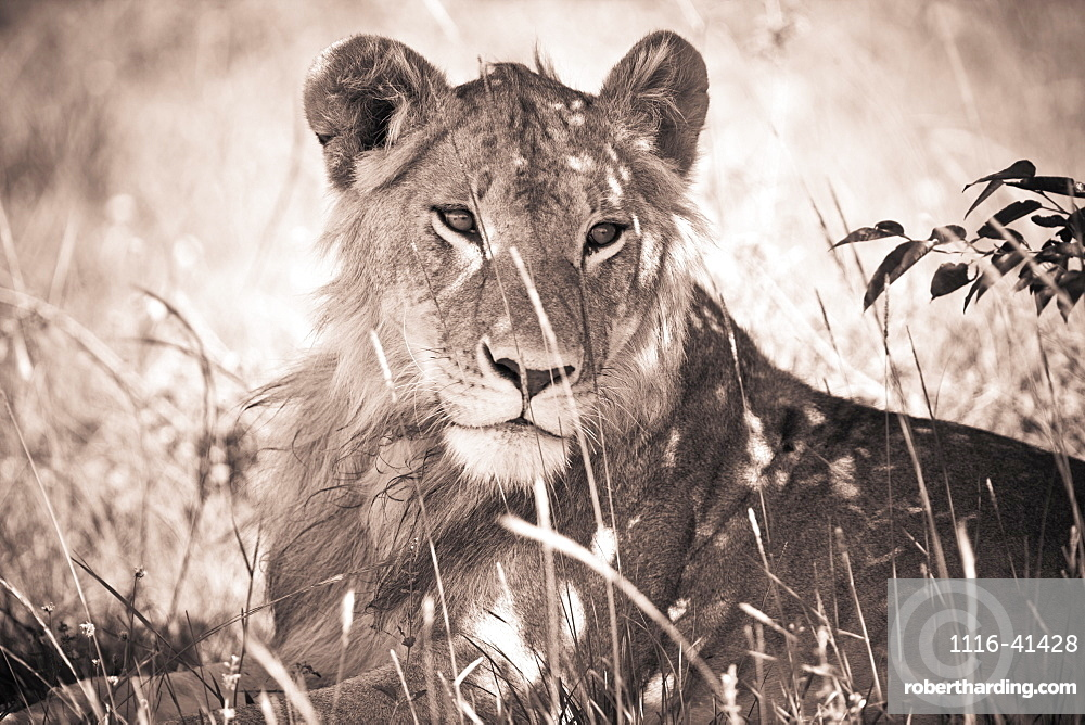 A Lioness Lays In The Shade, Kenya