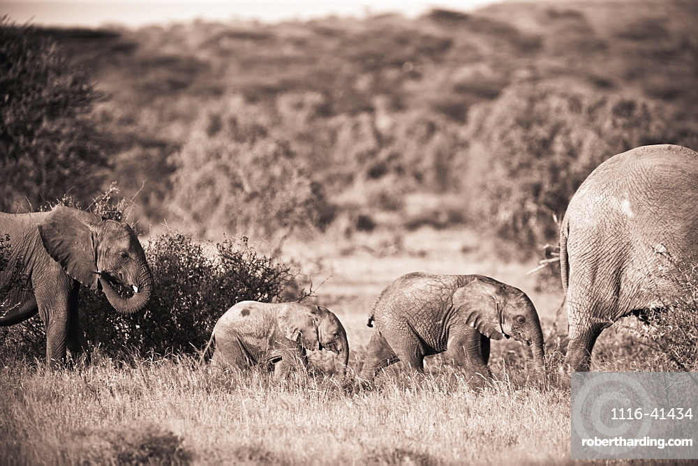 Elephants Walking In A Row, Samburu, Kenya