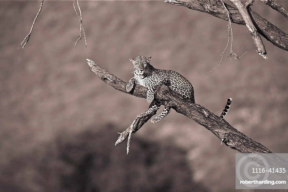 Leopard (Panthera Pardus) In A Tree, Samburu, Kenya