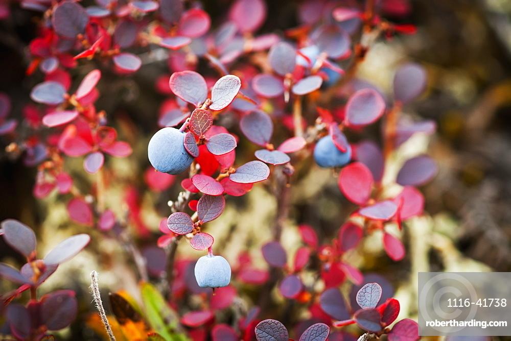 Lowbush Blueberry In Autumn Colors Near The Noatak River, Brooks Range, Alaska, United States Of America