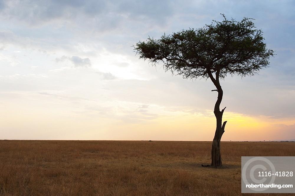 A lone tree on the maasai mara national reserve landscape at sunset, Maasai mara kenya