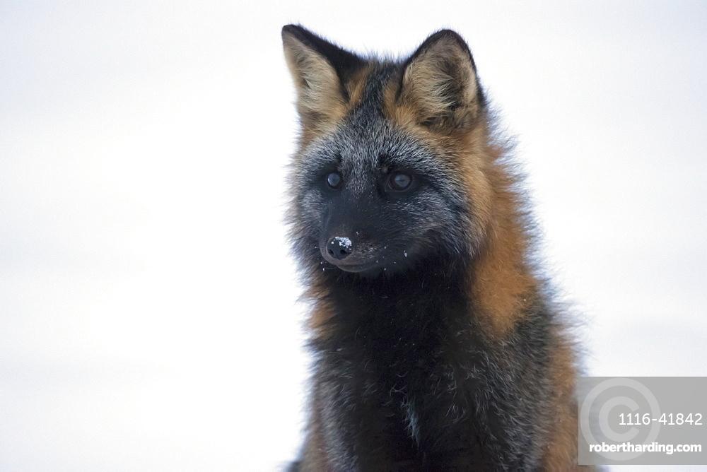 Cross fox (vulpes vulpes), Churchill manitoba canada