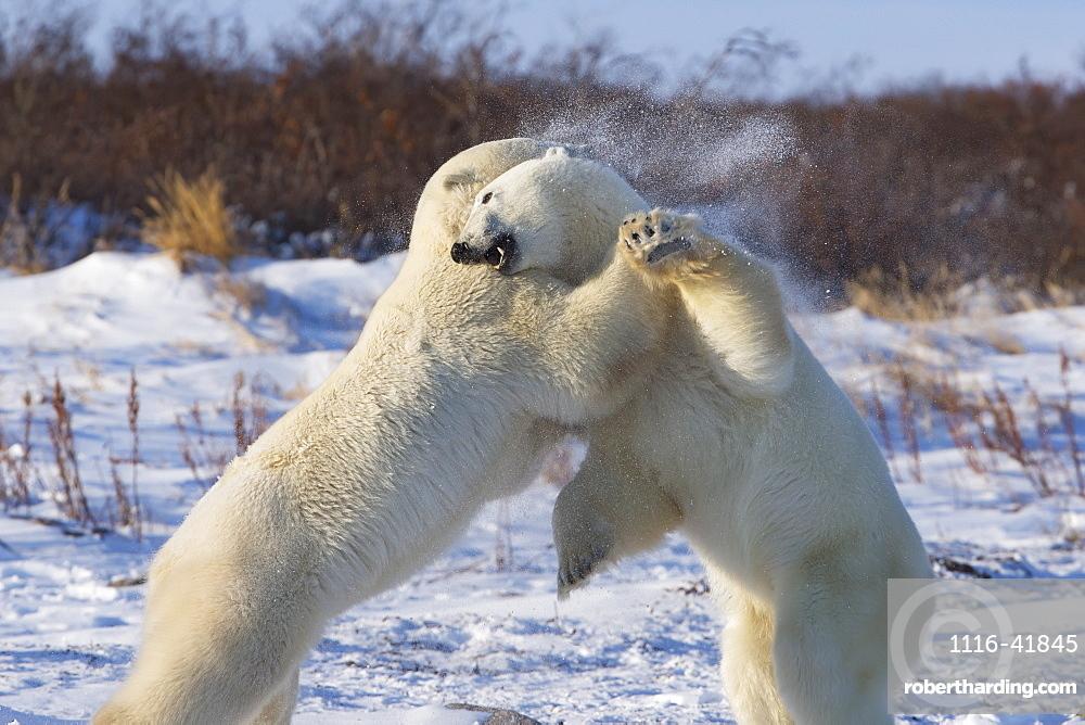 Polar bears (ursus maritimus) play fighting along the shores of hudson's bay, Churchill manitoba canada