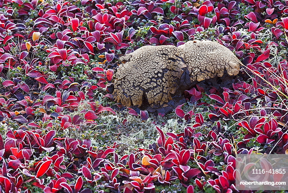 A large oddly shaped mushroom surrounded by bear berry plants on a very frosty morning along the dempster highway, Yukon canada