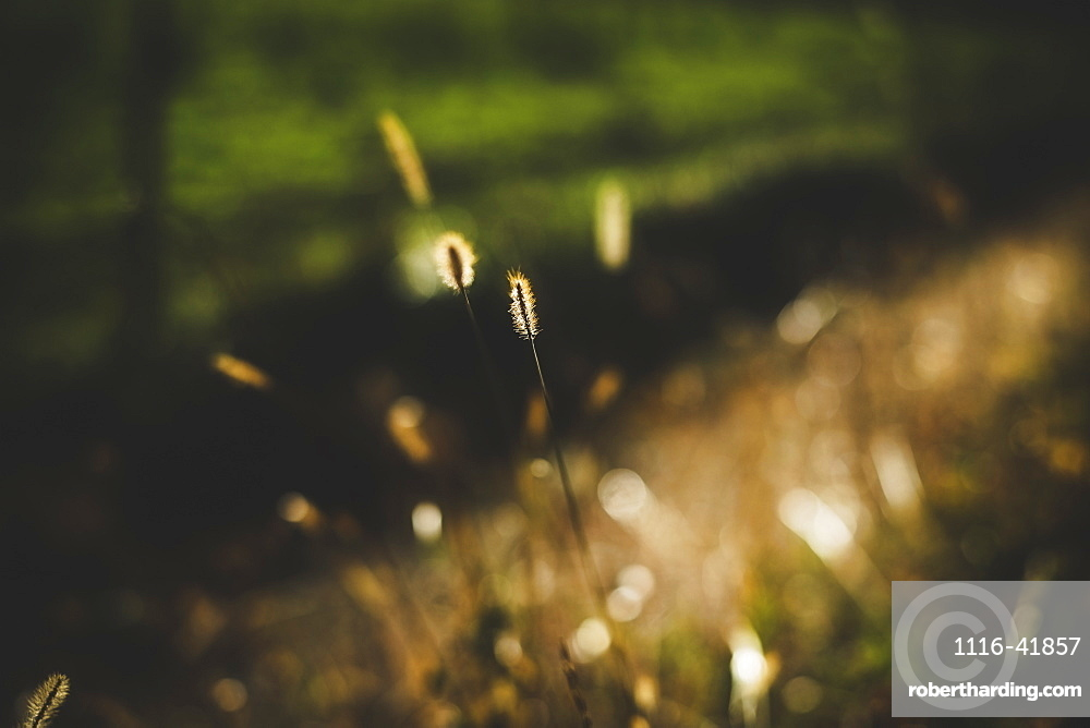 Isolated blade of grass in late afternoon light, Maricourt quebec canada