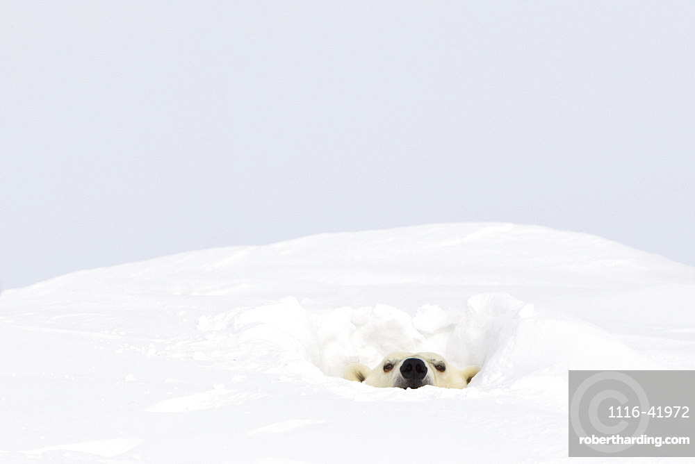 Polar bear (ursus maritimus) sticking it's head out of a den at wapusk national park, Manitoba canada