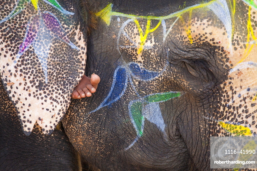 An Elephant's Face Trunk And Ears Decorated With Paint With A Barefoot Showing Under The Ear, Jaipur, Rajasthan, India