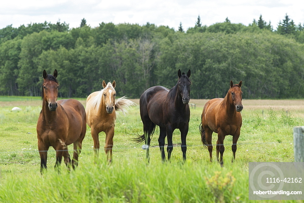 Four Horses Standing In A Row At A Fence Along The Edge Of A Pasture, Riding Mountain National Park, Manitoba, Canada