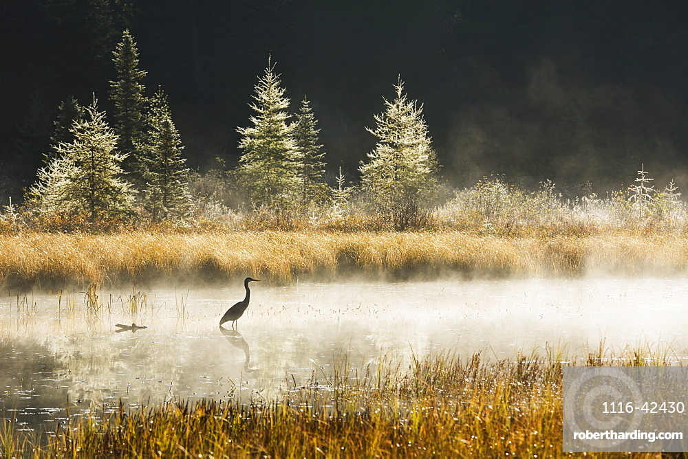 Great Blue Heron (Ardea Herodias) Fishing In Costello Creek At Sunrise While Mist Rises Off The Water, Algonquin Park, Ontario, Canada