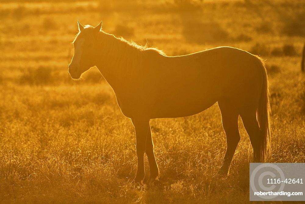 Horse On Open Range With Sunset Backlighting, Arizona, United States Of America