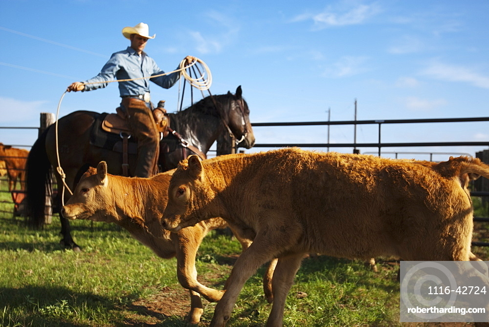 Livestock - A cowboy on horseback roping beef calves in a corral during branding operations / near Childress, Texas, USA.