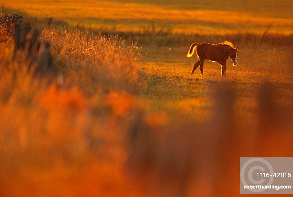 Livestock - A colt horse on a pasture at a horse farm / Douglas County, Wisconsin, USA.
