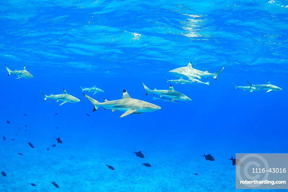 Black Tip Reef Sharks Underwater, Bora Bora, French Polynesia