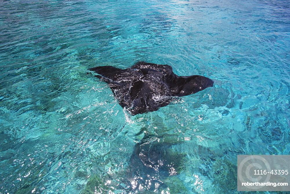 Manta Ray Swimming In The Ocean Water, Tahiti