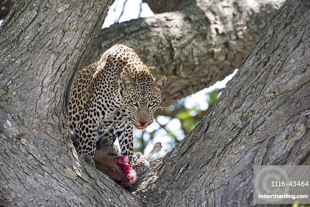 Leopard In Tree Licking Lips While Feeding On Wildebeest Calf Near Ndutu, Ngorongoro Crater Conservation Area, Tanzania