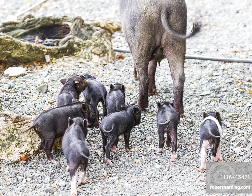 Sow And Piglets, Pulao Asei, Island In Lake Sentani, Papua, Indonesia