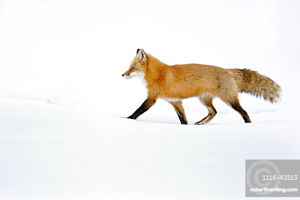 Fox Walking In The Snow, Montreal, Quebec, Canada