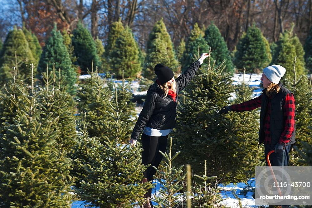 A Couple Choosing And Cutting A Fresh Christmas Tree At A Christmas Tree Farm, Minnesota, United States Of America