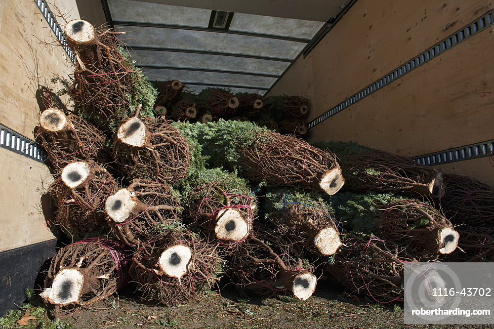 Cut Trees In A Pile At A Christmas Tree Farm Loaded In A Truck For Transport, Minnesota, United States Of America