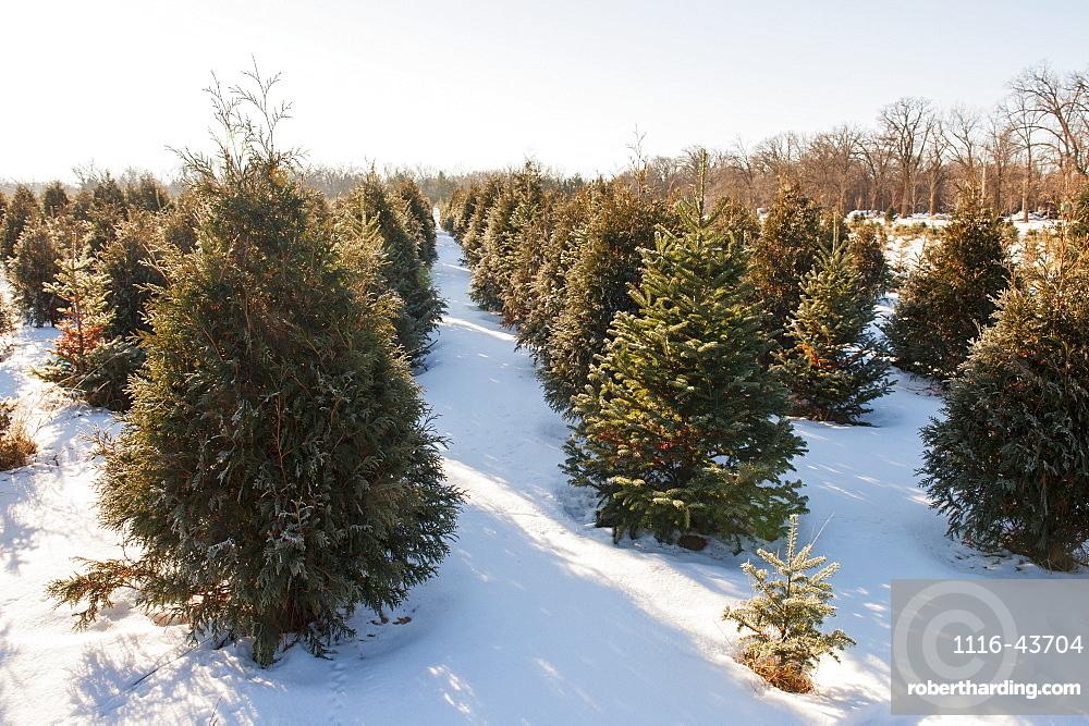 Christmas Tree Farm, Minnesota, United States Of America